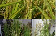 با حضور معاون وزیر جهاد کشاورزی: جشنواره روز ملی مزرعه برنج در رشت برگزار شد