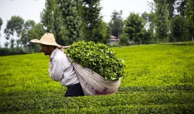 قدر چای را مسئول چایکار می داند و بس