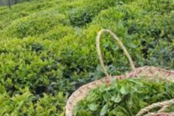 ۲۳ هزار تن برگ سبز چای در کشور خریداری شد